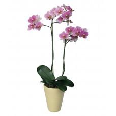 """Орхидея в горшке """"Фаленопсис"""""""