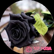 Особенности черной розы